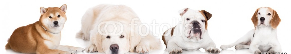64175818 – Latvia – dogs lying down on white