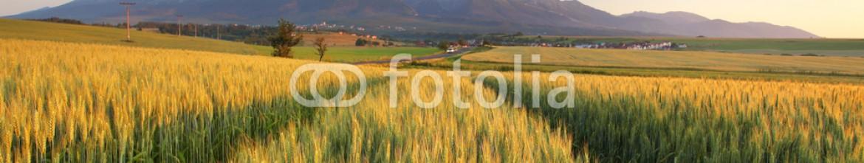 69835362 – Slovakia – Summer wheat field in Slovakia, Tatras.