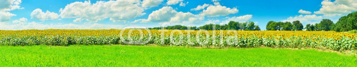 77719343 – Ukraine – Sunflower panorama