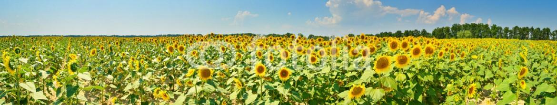 78415542 – Ukraine – Sunflower field