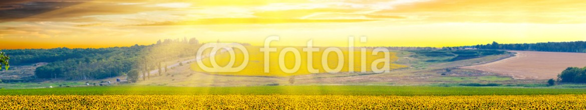 81898148 – Ukraine – Sunflowers harvest