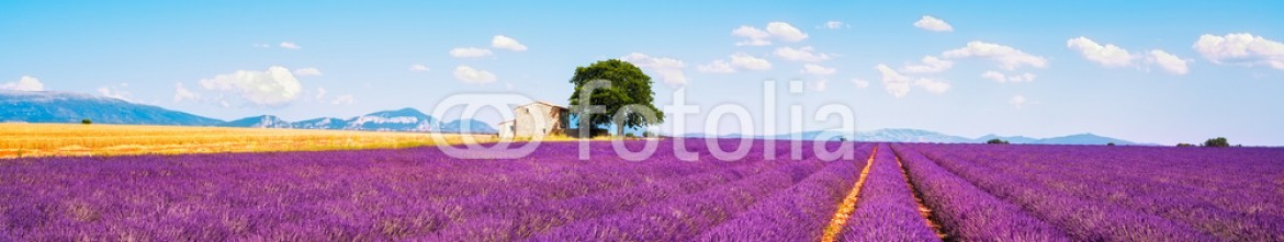 82828863 – Italy – Lavender flowers blooming field, house and tree. Provence, Franc