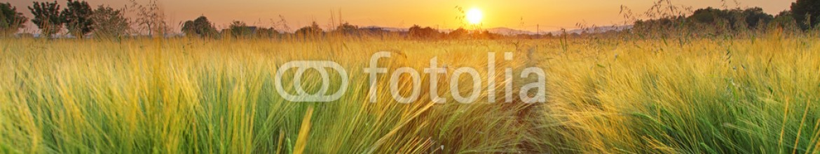 84631310 – Slovakia – Wheat field landscape with path in the sunset time