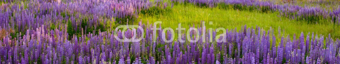 85239330 – Russian Federation – Lupine Meadow