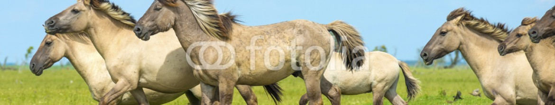 87712448 – Netherlands – Herd of wild horses running in a field in summer