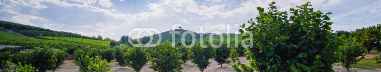 88574963 – Italy – Noccioleto nelle colline delle Langhe del Piemonte
