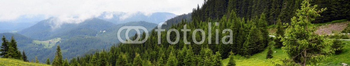 89530213 – Bulgaria – Pine forest and green grass field with yellow flowers
