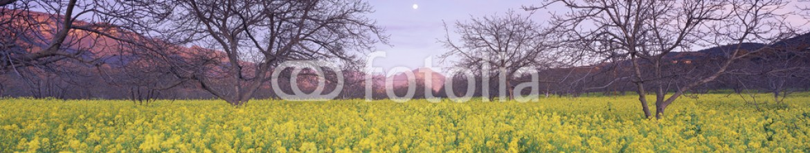 90067481 – United States of America – Yellow field and trees at sunset, California