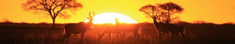 Стеклянная панель Дикие животные на закате дня