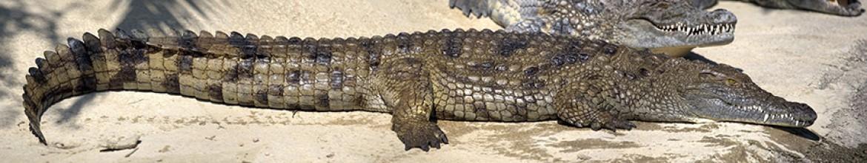 Скинали Крокодил на суше