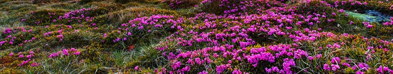 Скинали Сиреневые цветы в поле